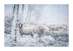 In the White Out (Dave Fieldhouse Photography) Tags: peakdistrict peaks farming sheep animal landscape trees snow snowing winter cold ice mist weather herd wool fuji fujifilm fujixt2 wwwdavefieldhousephotographycom derbyshirelife derbyshire england