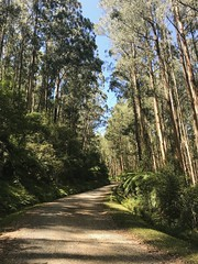 2019:47 On the ride up Mt St Leonard (neonluxe) Tags: ferns trees forest toolangi project365 bikepacking cycling
