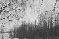 play winter for me (Mindaugas Buivydas) Tags: lietuva lithuania bw winter february tree trees fog mist favoriteplaces ruguliai aukštumala delta nemunasdelta nemunodeltosregioninisparkas nemunasdeltaregionalpark birch sadnature shallowdepthoffield mindaugasbuivydas memelland