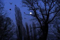 Bad Moon Rising (pwendeler) Tags: moon fullmoon blue sky tree bird dark moonrise sonyalphaa6500 sony wilhelmsbad hanauwilhelmsbad hanau park nature natur evening eveningmood germany dämmerung landschaft