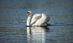 Mute Swan on the Lake (Franck Zumella) Tags: lake lac white swan blanc cygne eau water animal nature bird oiseau blue bleu boss swim swimming nager mute tubercule tuberculé reflection reflexion