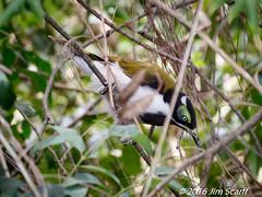 Blue-faced Honeyeater (juvenile) (Jim Scarff) Tags: australianbirds bluefacedhoneyeater entomyzoncyanotis honeyeaters passerines juvenile eagleby queensland australia geo:lon=15322977222222 exif:lens=ef100400mmf4556lisiiusm14xiii camera:model=canoneos7dmarkii camera:make=canon geo:country=australia exif:focallength=189mm geo:state=queensland exif:isospeed=800 geo:city=eagleby geo:location=eaglebywetlands exif:model=canoneos7dmarkii geo:lat=27711411111112 exif:aperture=ƒ80 exif:make=canon
