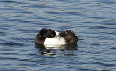 Tufty (hedgehoggarden1) Tags: tuftedduck wildlife nature bird duck animal sonycybershot preening birds wildfowl suffolkwildlifetrust lackfordlakes suffolk eastanglia uk sony lake preen