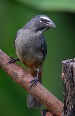 Grayish Saltator (anacm.silva) Tags: grayishsaltator ave bird wild wildlife nature natureza naturaleza birds aves bogarintrail arenal costarica saltatorcoerulescens