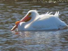 American White Pelicans (rudyg39) Tags: camdenlake elkgrove americanwhitepelican