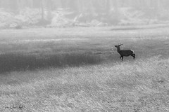 Yellowstone National Park (Jean-Marc Vogel Photography) Tags: nb noiretblanc noirblanc noir blanc nero blanco schwarz weiss black white bw blackandwhite blackwhite yellowstone national park usa wyoming cerf chevreuil deer animal forêt forest