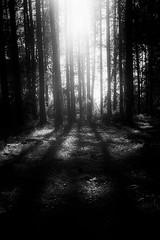 (willy vecchiato) Tags: biancoenero blackandwhite monochrome monocramatico mono wood forest foresta bosco oscura oscuro obscure grain grainy shadow noir dark darkest darker darklight darkness fuji x100s nature natura inquietudine disquiet