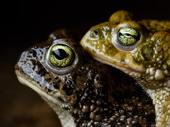 Calamitas (Wildlife and Nature Photos!) Tags: 2019 amplexo amplexus calamita calamitas marzo