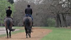 Thoroughbreds (standhisround) Tags: horses people richmondpark richmonduponthames uk england trees thoroughbreds animals equine