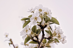 _MG_6607flor de pera (Pedro Angel Prados) Tags: canon eos 600d tamron sp 90mm f28 di vc usd macro11 f004 ƒ28 900 mm 1125 100 macro flor flower natura