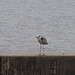 Grey heron (Ardea cinerea, アオサギ)