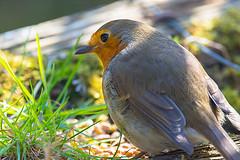 Robin (paulmorshead) Tags: robin rainham