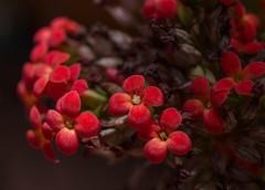 Seeing Red (ACEZandEIGHTZ) Tags: red color nature nikon d3200 macro closeup plant arid succulent flowers buds bokeh potted kalanchoeblossfeldiana