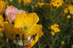 Amapolas (Ce Rey) Tags: amapola amapolas poppy poppies yellow amarillo flor flores flower flowers plant plants canoneos80d brightcolors nature naturaleza jardín garden jardindesplants spring primavera bloom