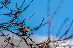 PAJARITO (juan carlos luna monfort) Tags: ave ocell arbol naturaleza tuixent cieloazul ornitologia nikond7200 sigma150500 calma paz tranquilidad