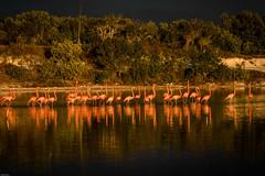 Flamingos in Celestun (Globalbirder) Tags: gulfofmexico campeche mexico travelphotography pictravelvacationfernwehgulfofmexiconatureyucatan