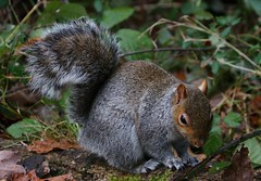 Grey Squirrel - Upton CP Dorset -140119 (1) (Ann Collier Wildlife & General Photographer) Tags: greysquirrel uptoncountrypark pooleharbour poole dorset dorsetwildlife mammals