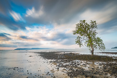 Mangrove trees on the beach at low tide in a cloudy morning at Ko Mak island (Koh Mak) - long exposure. (baddoguy) Tags: beach beauty in nature blue cloud sky cloudscape color image copy space dramatic focus on foreground gulf of thailand horizon over water horizontal island landscape local landmark long exposure low tide mangrove tree motion no people outdoors pacific ocean photography reflection rural scene scenics sea seascape single summer sunrise dawn tranquility trat province travel destinations trunk