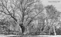 B&W,Groninger Landschap,Groningen  ,the Netherlands,Europe (Aheroy) Tags: bomen aheroy aheroyal groningen bw zw zwartwit blackwhite monochrome landschap landscape bos boslandschap campo campagne landschaft rural