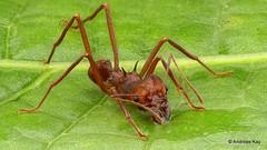 Leafcutter ant, Atta sp. (Ecuador Megadiverso) Tags: amazon andreaskay ant attasp ecuador focusstack formicidae hymenoptera leafcutter rainforest tropic