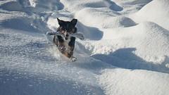 Appenzeller Hund (HeiAld) Tags: haustier hund bläss appenzeller snow action