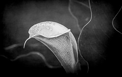 lily and waves in black and white (Pejasar) Tags: lily white blackandwhite bw curves patterns flower blossom bloom