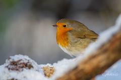 Rouge gorge. (gphotosg) Tags: rouge gorge passereaux oiseaux robin nature jardinier