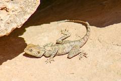 Lizard @ Dana Nature Reserve (Ralph Apeldoorn) Tags: amphibian dana danabiospherereserve dananaturereserve lizard reptile بوسايرا tafilah jordanië jo