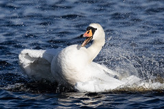 Ok so take a shot of me doing this... (Steve Balcombe) Tags: bird mute swan cygnus olor swimming bathing splashing playing smiling laughing sunshine catcott lows somerset levels uk