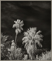 Agua Caliente IR #22 2019; Two Washingtonias (hamsiksa) Tags: plants flora desertplants xerophytes palms palmtrees fanpalms californiafanpalm mexicanfanpalm washingtoniarobusta washingtoniafilifera arizona tucson sonorandesert blackwhite infrared digitalinfrared infraredphotography botanicals