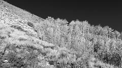 Aspen of Grant Lake (allentimothy1947) Tags: aspen junelakeloop junelake srps sierranevadamountains us395 fallcolors grantlake mountains yellow bw trees autumn fall brush california eastersierranevadamountains infrared