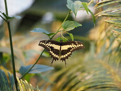 Königspage - King Swallowtail (1elf12) Tags: bremen butterfly schmetterling insect insekt botanika mendehaus germany deutschland