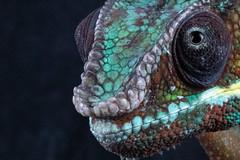 Beady Eye (pboolkah) Tags: clactononsea england unitedkingdom gb canon canon5d canon5dmkiv reptile