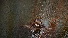 Nest (Julysha) Tags: birds nest fuut hoorn thenetherlands noordholland spring march d850 2019 sigma241054art acr water eggs