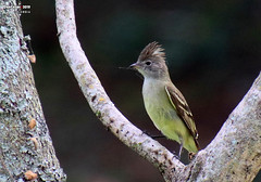 Yellow-bellied Elaenia, Medellin, Colombia (danniepolley) Tags: yellowbelliedelaenia medellin colombia