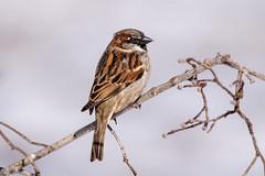 House sparrow male (Lynn Tweedie) Tags: housesparrow beak tail wing canon ngc animal male 7dmarkii missouri sigma150600mmf563dgoshsm eye wood tree eos feathers bird branch