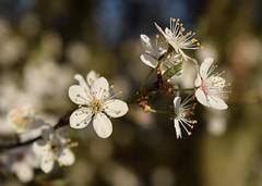 Blossom #3 (MJ Harbey) Tags: blossom flower whiteblossom buckinghamshire prunus cherryplumblossom tree garden nikon d3300 nikond3300