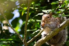 Squirrel eating (lewismercer1) Tags: england pishiobury park sawbridgeworth squirrel nut lewismercer d4 200500 200500mm eating