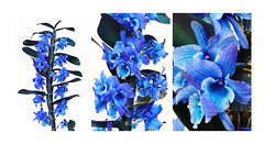 Blue orchid (smir_001) Tags: orchids orchidflowers indoor dendrobium dendrobiumspecies houseplant herbs flowers plants flora canoneos6dmarkii march spring blueorchid colouredorchids unusualcolours dyedorchids interesting orchidaceae bluedendrobiumorchids bluedendrobium triptych