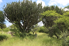 Euphorbia ingens (Euphorbiaceae)