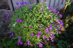 1527-36L (Lozarithm) Tags: oldforge gardens flora aubretia pentax zoom k1 1530 hdpda1530mmf28edsdmwr blip