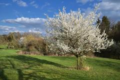 La saison ou les arbres reviennent à la vie (Excalibur67) Tags: d750 sigma globalvision art 24105f4dgoshsma paysage landscape ciel cloud sky nature nuages arbres trees floraison printemps spring frühling flowers fleurs