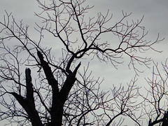 Tree Branches And Sky. (dccradio) Tags: lumberton nc northcarolina robesoncounty outdoor outdoors outside nature natural sky overcast cloudy greyskies grayskies sony cybershot dscw830 march spring springtime sunday sundaymorning goodmorning morning tree treebranch branches branch treebranches treelimb treelimbs eerie