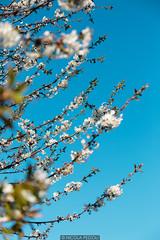 Perfect Blue (Nicola Pezzoli) Tags: val gandino seriana bergamo italia italy nature spring leffe ceride san rocco blue sky plant flowers fiori ciliegio cherry