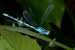 Rolf_Nagel-Fl-3322-Enallagma_cyathigerum (Insektenflug) Tags: enallagmacyathigerum commonbluedamselfly gemeinebecherjungfer becherazurjungfer almindeligvandnymfe enallagma cyathigerum common blue damselfly gemeine becherjungfer almindelig vandnymfe libelle libellen odonata zygoptera im fliegend flying flight airborne moor bog wildlife nature animal animals wild freilebend camera insects wilhelmshaven deutschland eos fauna fliegen flug germany natur naturfoto naturfotografie niedersachsen insekt insekten zoologie insect imflug inflight insektenflug minoltaerokkor75mm erokkor minolta rokkor 75mm envole en vole