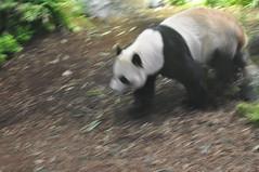 20190101-DSC_3762 (Beothuk) Tags: calgary zoo new years day 2019 giant panda indoor