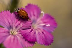 ladybug (bnbalance) Tags: greatphotographers greaterphotographers garden
