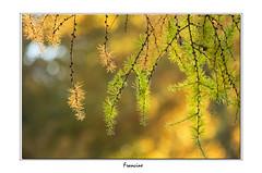 L'automne dans les mélèzes (Francinen89) Tags: automne fall autumn nature arbre tree jaune gold forêt forest