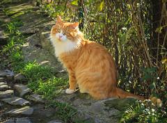Cat in Apricale, Italy (TMStorari) Tags: cat cats gatti pets animals animali tiere tier katze gatos gato redcats red nature tree grass italy italia apricale liguria villaggi borghi portrait gattorosso rotekatze