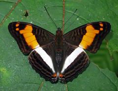 Adelpha delinita (hippobosca) Tags: butterfly nymphalidae peru insect macro lepidoptera adelphadelinita
